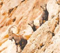Large herd of Himalayan ibex filmed in Hunza valley