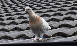 Australia to kill pigeon that crossed the Pacific from US state of Oregon