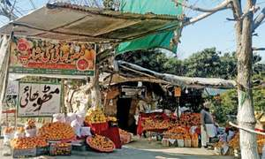 Citrus lovers throng orange orchards near Taxila