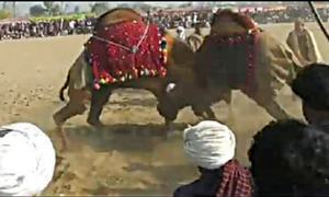 Camel fights go unchecked in two southern dists