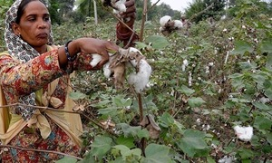 Cotton production falls by 34pc, lowest in 30 years