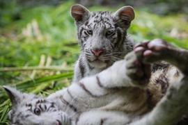 White tiger among three animals Lahore zoo may put down