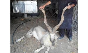 Private operators misusing trophy hunting scheme