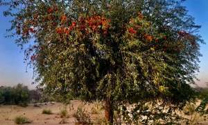 In pictures: The 'saintly' tree that is the centrepiece of spring in Thar