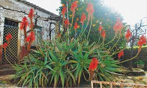 GARDENING: ALOE! I JUST CALLED TO SAY,  I LOVE YOU!