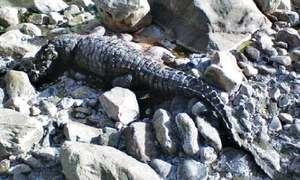 Are there any crocodiles in Sulaiman Range lakes of Rajanpur district?