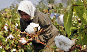 50pc cotton sowing done in Sindh