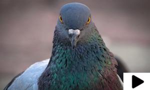 بی ایس ایف کی درخواست پر پاکستانی کبوتر کے خلاف مقدمہ درج