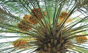 GARDENING: 'HOW DO I GET RID OF TERMITES FROM MY DATE PALMS?'