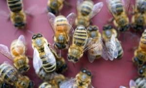 نیدرلینڈز میں شہد کی مکھیوں کو کووڈ 19 کی تشخیص کی تربیت