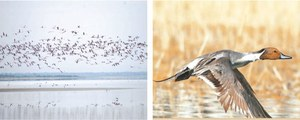 Rise seen in migratory bird population in Pakistan's water bodies despite threats