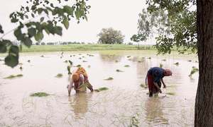 Ambiguity in paddy cultivation ban puts lower Sindh growers in a fix