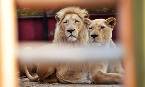 Zoo lion dies of 'natural causes' in Karachi