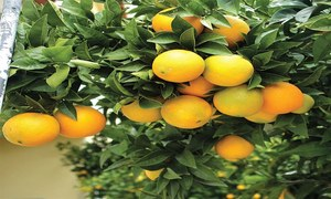 GARDENING: 'WHY IS MY FRUIT FALLING OFF WHILE STILL SMALL?'