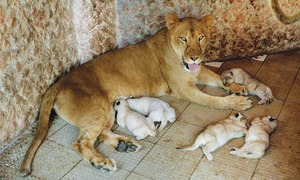 3 lion cubs abandoned by mother being reared by Lahore zoo staff