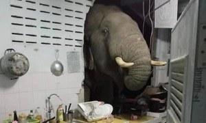 جب ایک ہاتھی کھانے کی تلاش میں دیوار توڑ کر کمرے میں گھس گیا