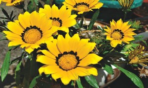GARDENING: 'I WANT NIGHT-SCENTED FLOWERS FOR MY HUSBAND'
