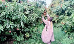 Harsh weather yields low lychee produce in Punj Khatta