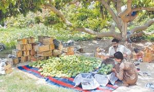 Pakistan hopes to achieve mango export target