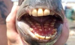 انسانوں جیسے دانتوں والی مچھلی کی تصویر سوشل میڈیا پر وائرل