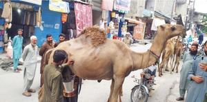 Milch camels grab Chitralis' attention