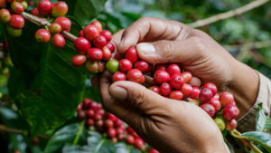 From plant to mug, here's everything you need to know about coffee's life journey