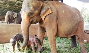 سری لنکا میں 80 سال بعد کسی ہتھنی کے ہاں جڑواں بچوں کی پیدائش