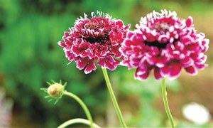 GARDENING: 'WHAT VINES CAN I GREEN MY WALLS WITH?'