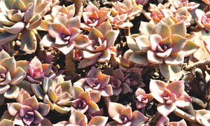 GARDENING: SUCCULENTS FOR EVERY TASTE