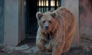 Islamabad zoo's brown bear dies in Jordan sanctuary