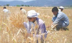 Higher wheat output target fixed amid water woes