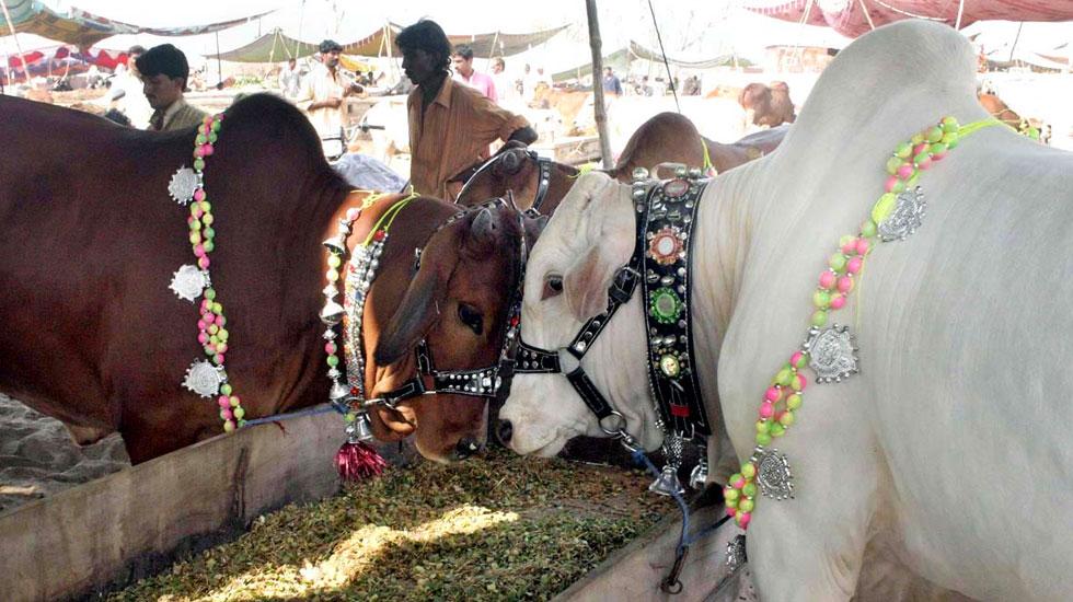 گائے منڈی میں موجود دو خوبصورت جانور۔ فوٹو اے پی پی
